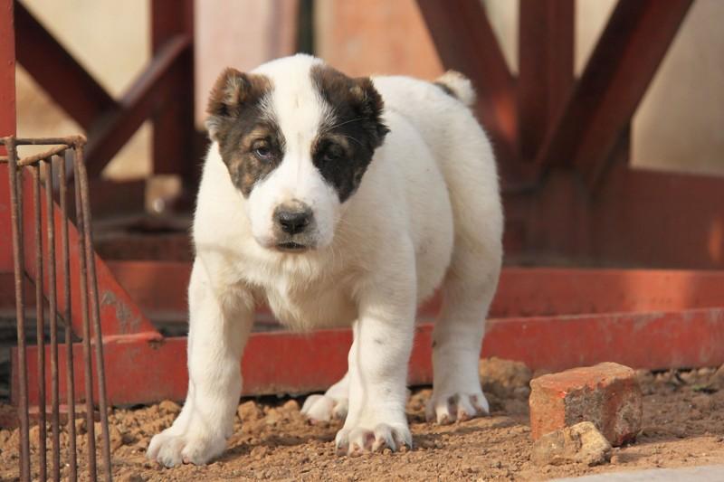 中亚牧羊犬 大型犬舍 繁殖纯种中亚犬宝宝9