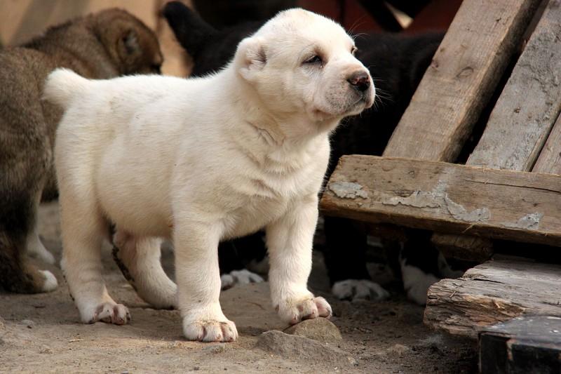 中亚牧羊犬 大型犬舍 繁殖纯种中亚犬宝宝5