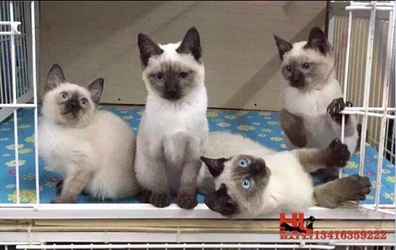 蓝眼精灵 泰国纯种暹罗猫 黑脸 包养活