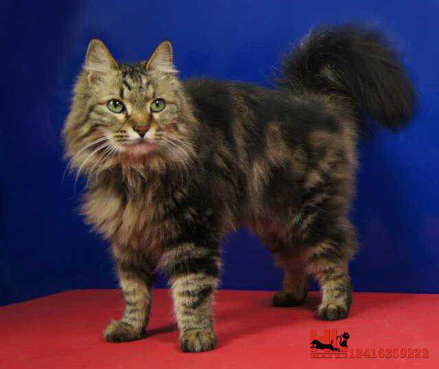 正规猫舍繁殖精品缅因猫 包纯种健康养活