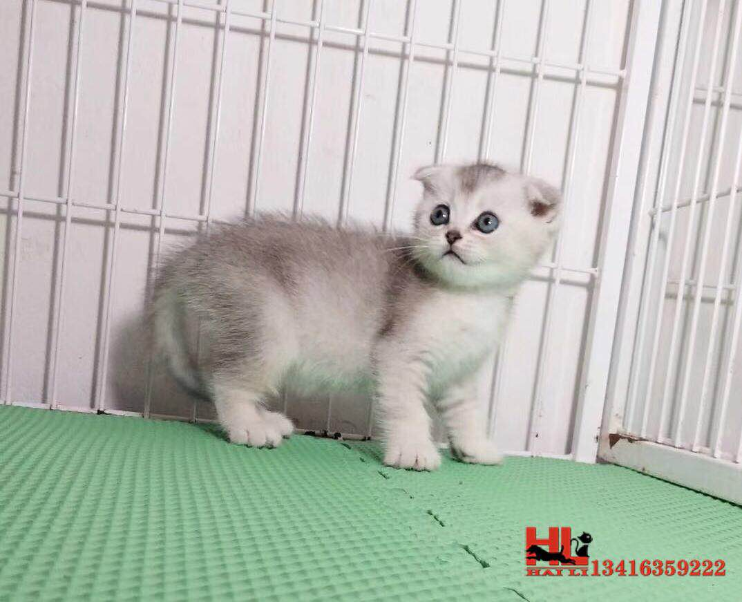 正规猫舍繁殖精品折耳猫 包纯种健康养活