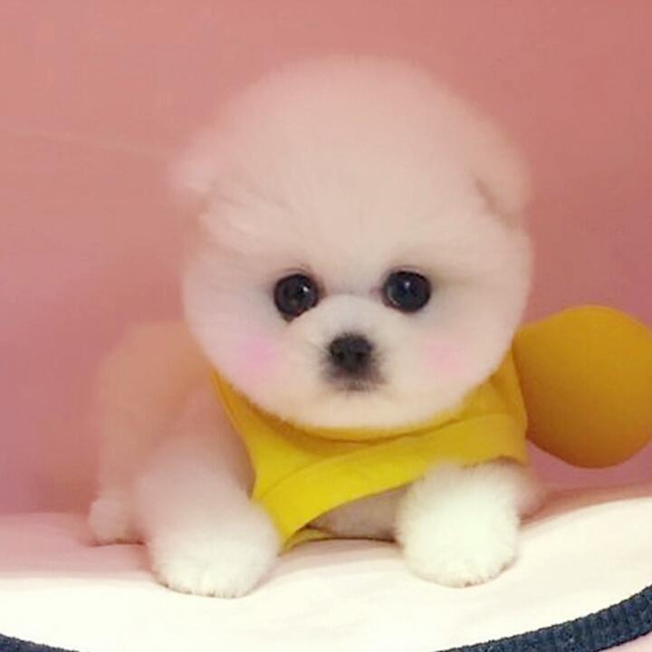 顶级纯种俊介宝宝出售 更专业犬舍繁殖 带芯片证书