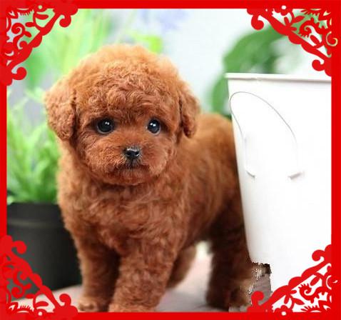 实物拍摄 茶杯犬  精品热销中、包健康 协议保障4