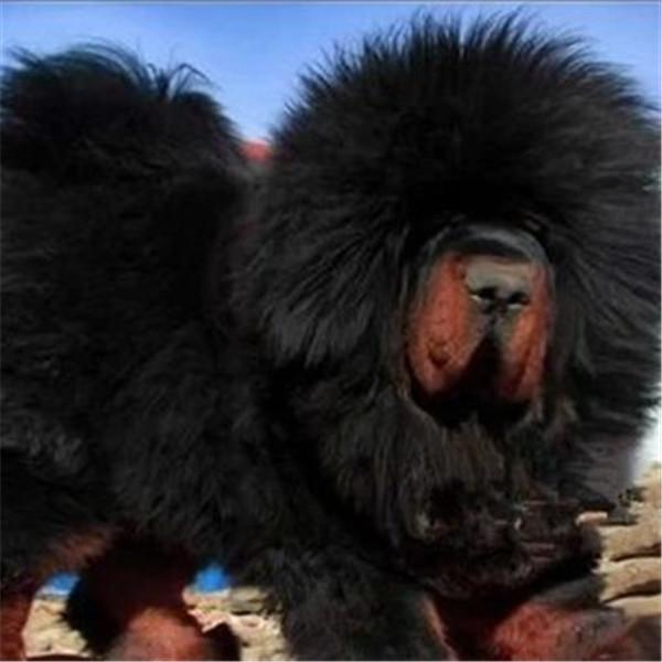 长期繁殖狮头虎头大藏獒 各类纯种名犬 包养活签协议