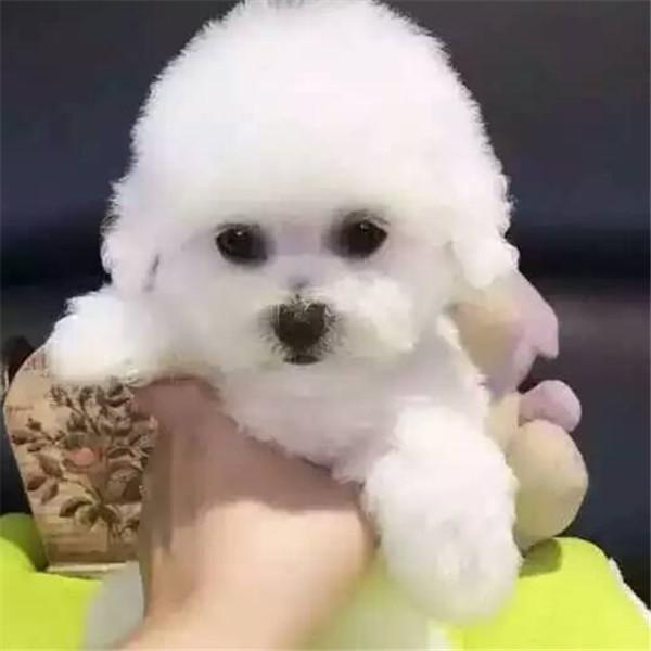长期繁殖博美比熊泰迪犬 各类纯种名犬 包养活签协议