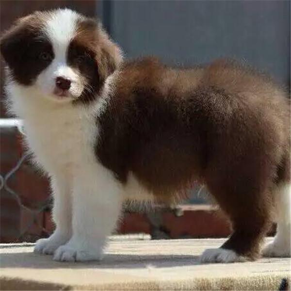 长期繁殖七白三通边牧犬 各类纯种名犬 包养活签协议