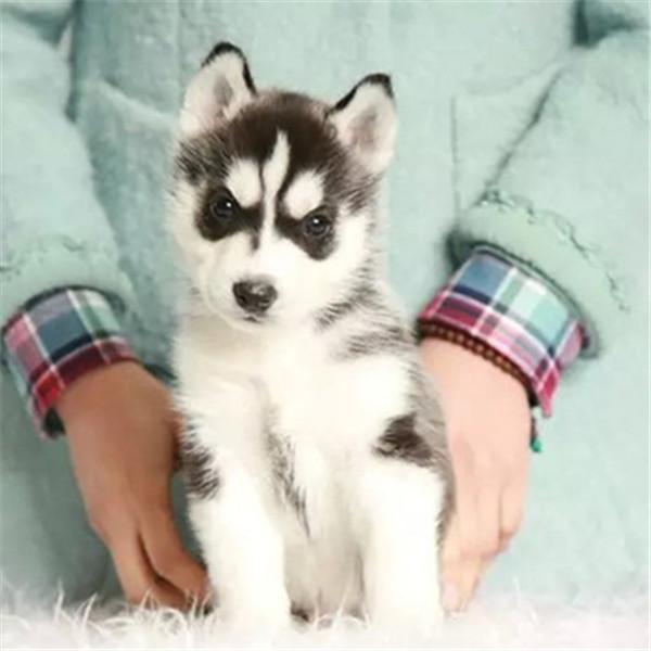 长期繁殖蓝眼三火哈士奇 各类纯种名犬 包养活签协议