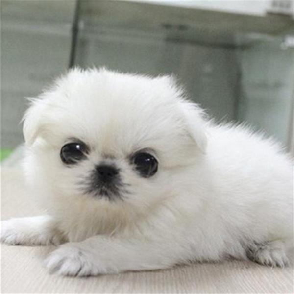 长期繁殖精品哈巴狗 各类纯种名犬 包养活签协议