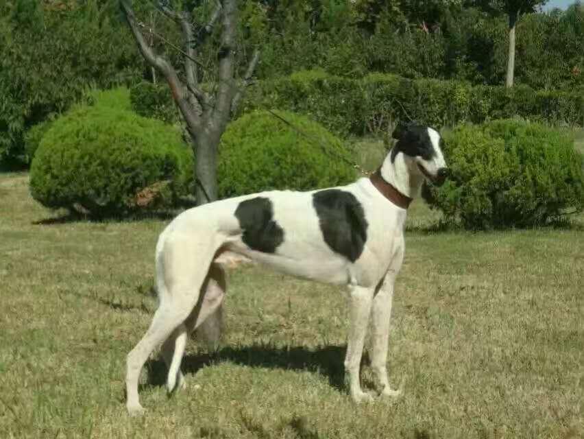 长期繁殖灵缇格力犬 各类纯种名犬 包养活签协议