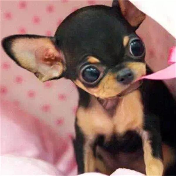 长期繁殖苹果头小吉娃娃 各类纯种名犬 包养活签协议