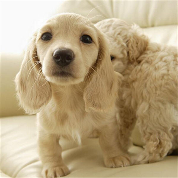 宠物腊肠犬活体狗狗幼犬纯种迷你型小型犬 第三方交易