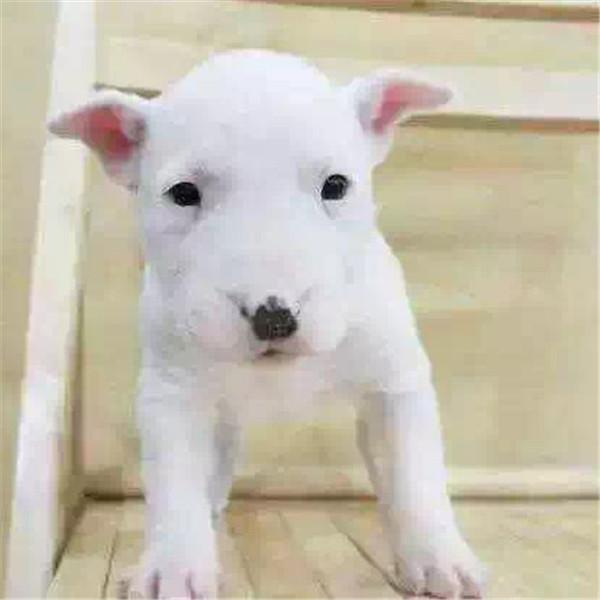 第三方交易 牛头梗幼犬 签合同保纯种健康 可送狗上门4