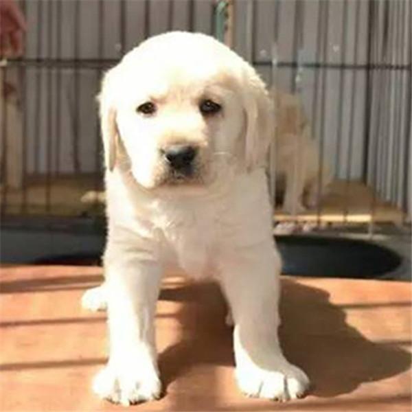 出售拉布拉多幼犬活体神犬小七纯种拉布拉多第三方交易