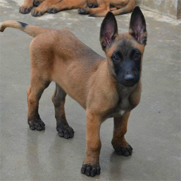 马犬纯种幼犬出售 红马 短毛犬 护卫犬警犬第三方交易