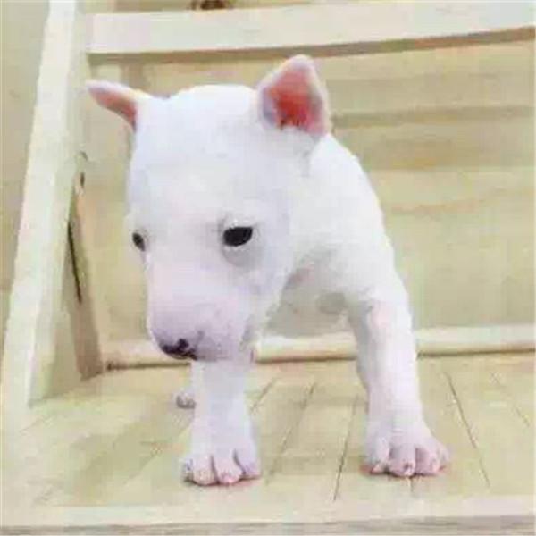 第三方交易 牛头梗幼犬 签合同保纯种健康 可送狗上门3