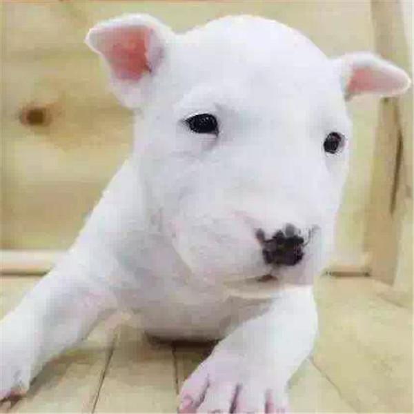 第三方交易 牛头梗幼犬 签合同保纯种健康 可送狗上门2