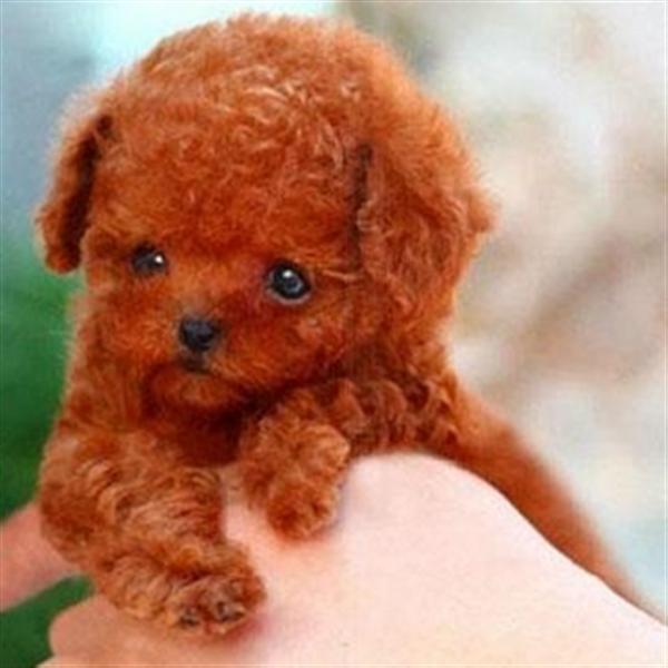 长期繁殖可爱玩具体泰迪 各类纯种名犬第三方交易