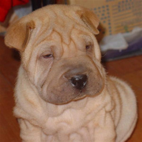 长期繁殖高品质纯沙皮狗 各类纯种名犬 第三方交易
