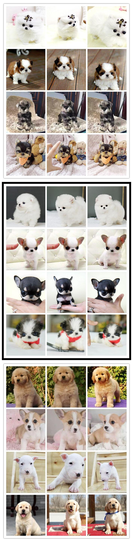 长期繁殖可爱玩具体泰迪 各类纯种名犬第三方交易7