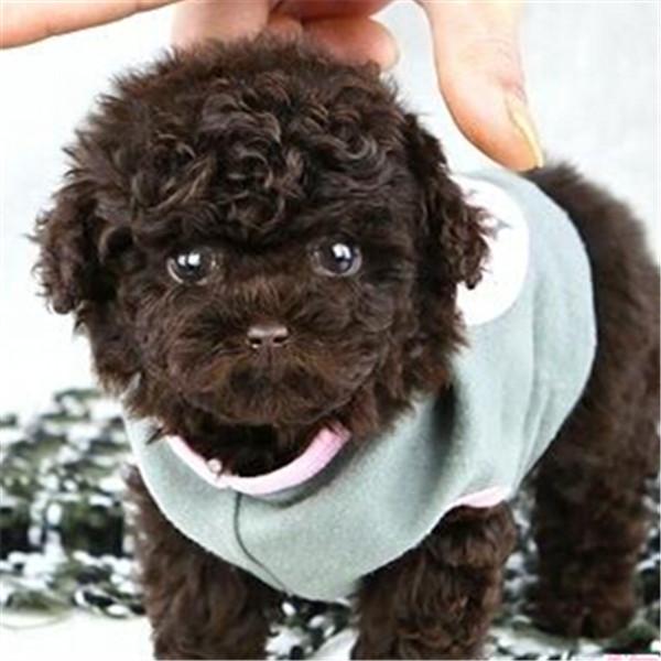 长期繁殖可爱玩具体泰迪 各类纯种名犬第三方交易4