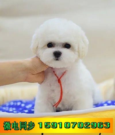 出售赛级血统各种幼犬 面向全国直销 实物拍摄挑选 包纯种