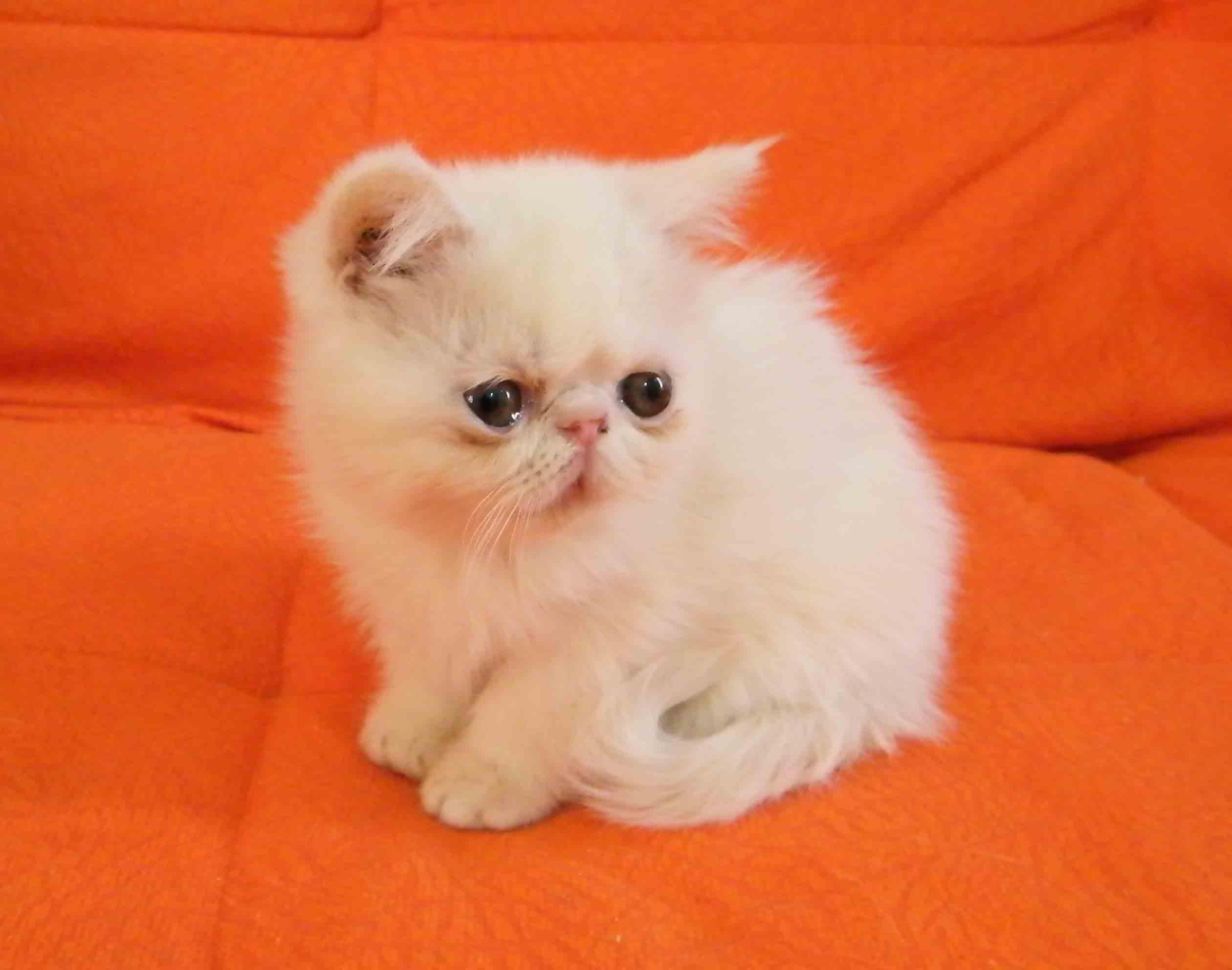 纯种加菲宠物猫咪幼猫活体蓝色猫美国猫活体短毛英国猫咪幼崽猫