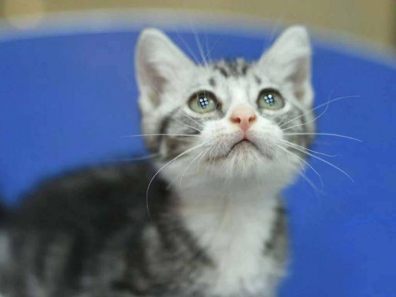 美国短毛猫活体纯种加白幼猫活体超萌宠物小猫咪美短幼猫出售