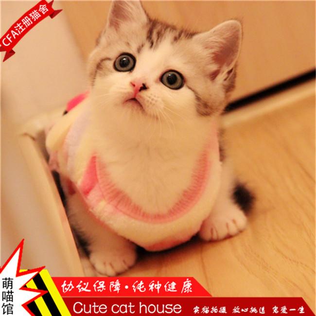 出售曼基康矮脚短腿猫家养活体宠物猫拿破仑美短加白小短腿