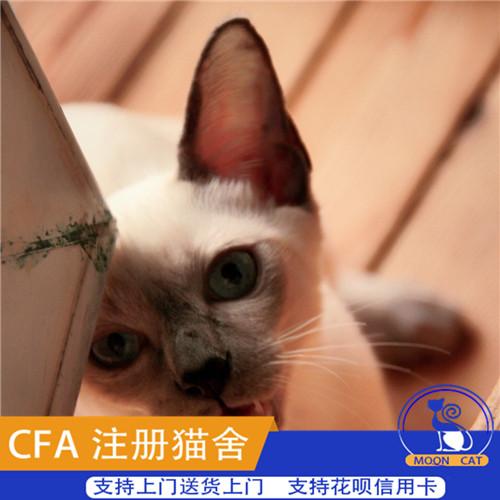 暹罗猫宠物猫虎头猫咪泰国暹罗猫英短蓝猫加菲猫家养暹罗猫活体