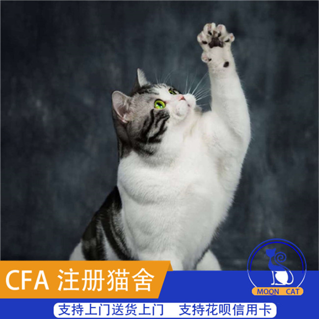 宠物猫咪活体家养纯种美国短毛美国猫虎斑猫宠物猫幼猫活体