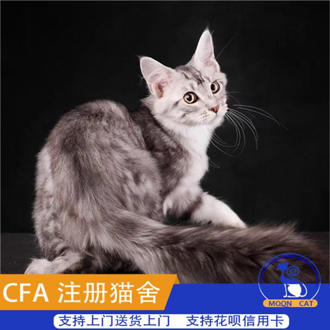缅因猫活体欧洲带证银虎斑大围脖冠军之子WCF证cfa证ti