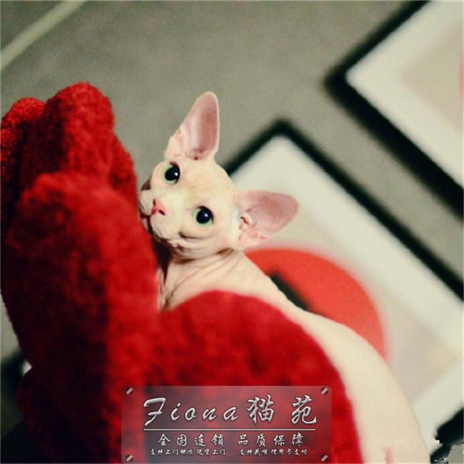无毛猫白皮家养重点幼猫纯种幼崽加拿大无毛活体自家繁殖出售