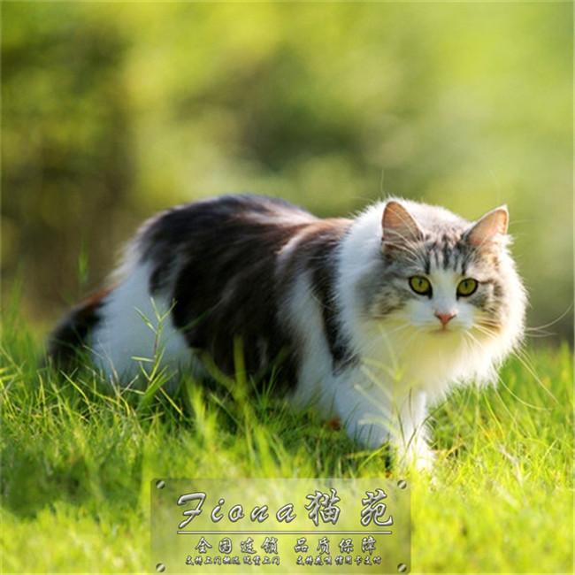 纯种缅因猫幼猫活体大围脖巨型猫大型带证书包健康包邮纯种霸气