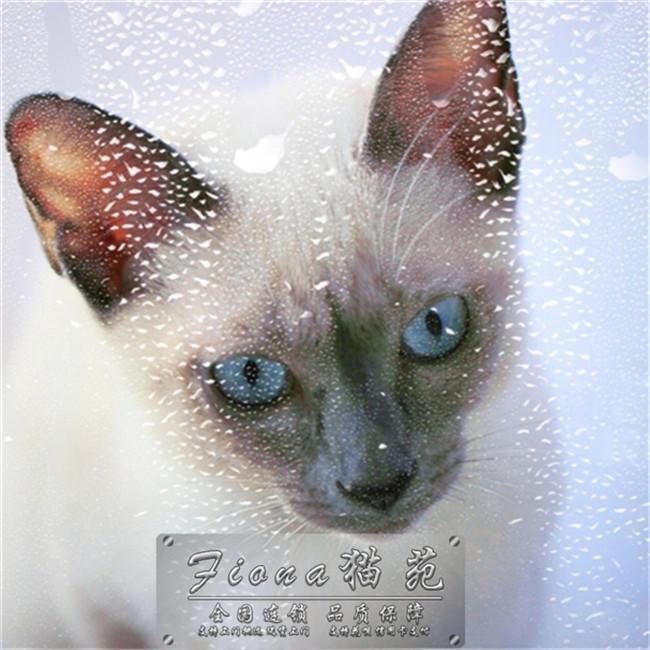 预售暹罗猫宠物活体泰国星罗短毛猫纯种幼猫淡紫色猫咪可爱挖煤