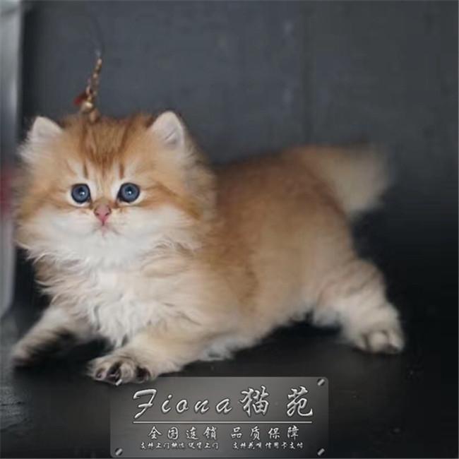 金吉拉幼猫活体纯种波斯猫长毛猫狮子猫孟买猫咪家养宠物猫净梵