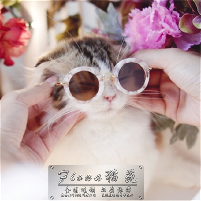 超级蓝眼折耳猫出售幼猫活体宠物猫家养折耳猫繁殖首选