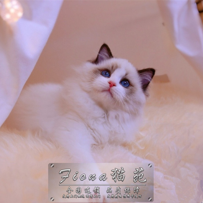 出售布偶猫活体幼猫支持上门挑选送货上门无病无藓包纯种健康
