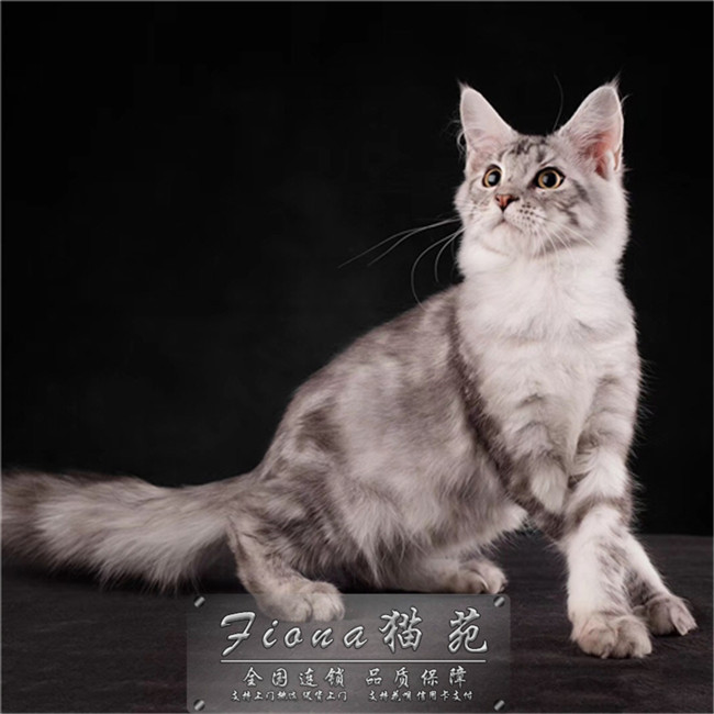 纯种缅因猫巨型宠物猫棕虎斑大体猫咪活体幼猫缅因宠物猫