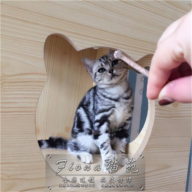 出售美短加白起司猫宠物猫家养银虎斑美国短毛猫幼猫活体美短
