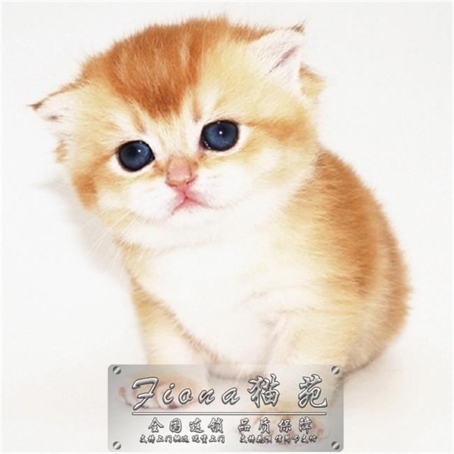 十年繁育宠物猫专业猫舍繁育基地CFA认证资质