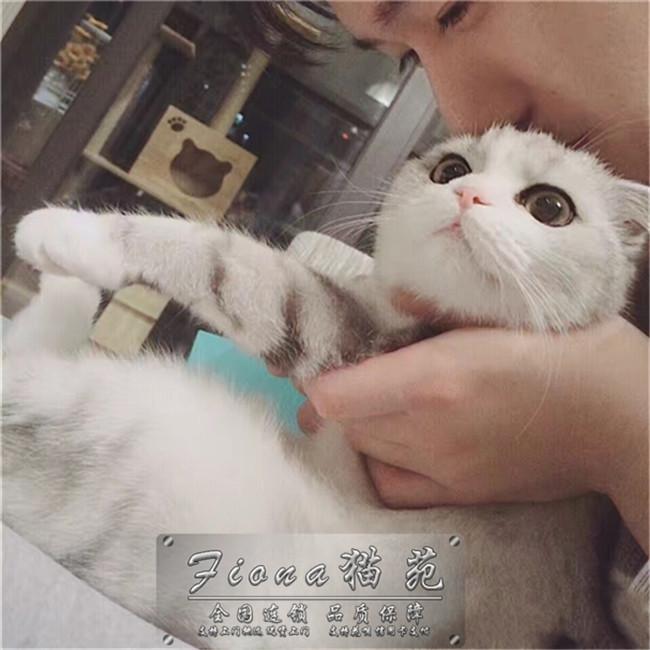 出售矮脚猫纯种活体猫咪矮脚猫短腿猫矮脚猫曼基康幼猫活体出售