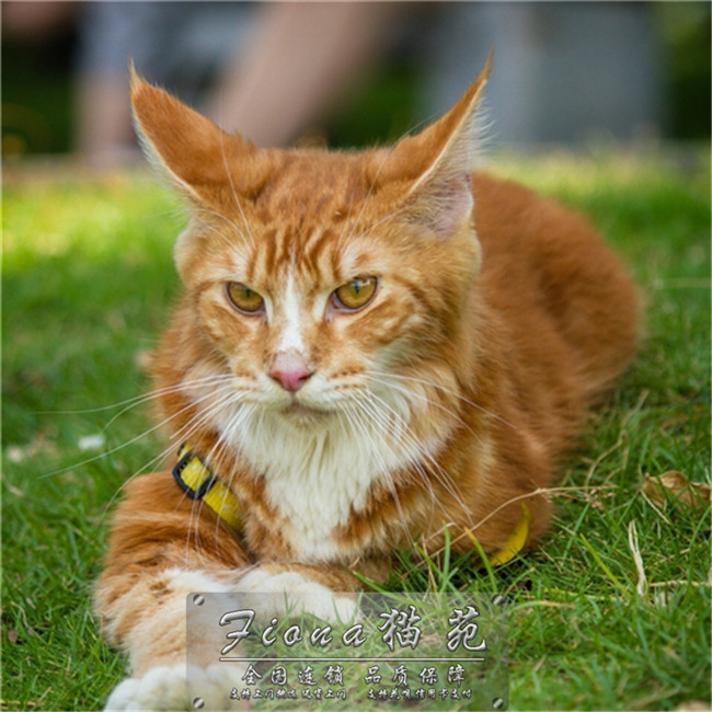 缅因猫活体巨型缅因猫灰猫活体纯种缅因幼猫活体宠物猫包健康