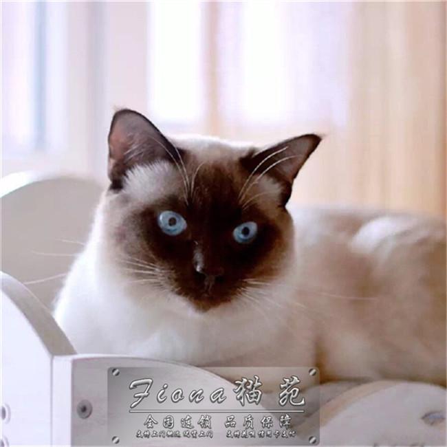 泰国暹罗猫活体纯种宠物猫蓝眼挖煤猫重点海豹暹罗妹妹猫幼猫