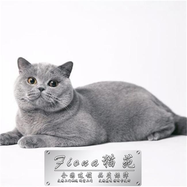 宠物小猫咪纯种家养英国短毛猫英短蓝猫立耳折耳活体幼猫幼崽出