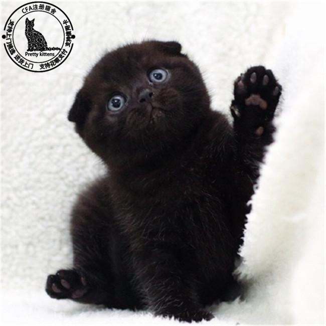 苏格兰折耳猫英短蓝猫活体折耳猫活体英短蓝白幼猫宠物猫活体