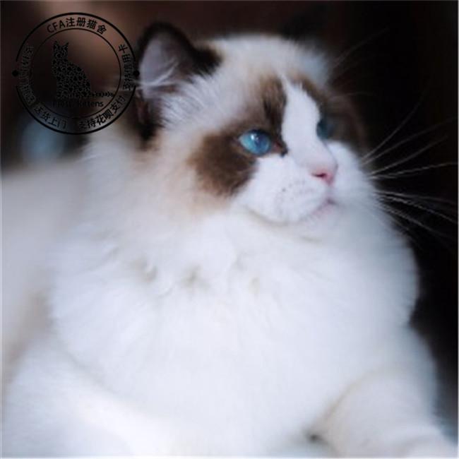 布偶猫仙女猫纯种健康双色海豹重点色支持上门挑选纯种健康