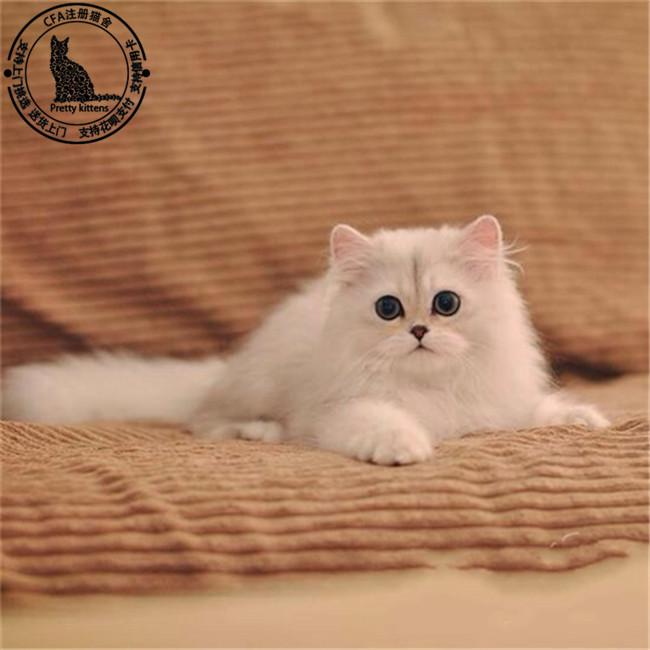 金吉拉猫 衢州金吉拉猫  主要品种:蓝猫,蓝白,银渐层,加菲猫,美短