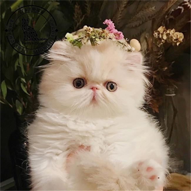 加菲猫活体幼猫纯种虎斑猫黄白三花折耳猫短毛宠物猫咪幼崽
