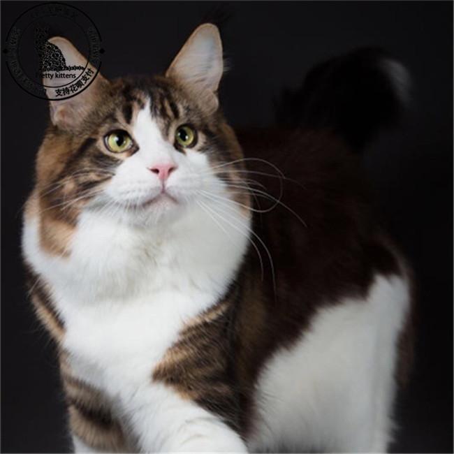 出售缅因猫十年繁育宠物猫专业猫舍繁育基地CFA认证资质