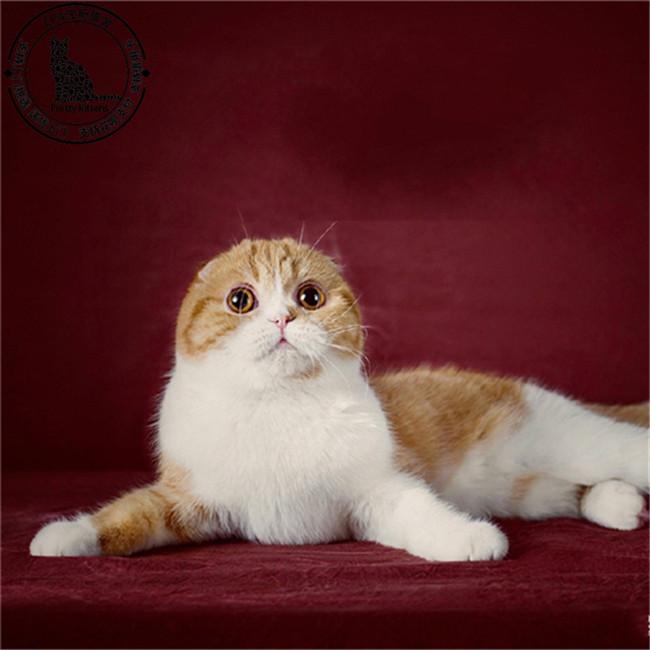 折耳宠物猫活体起司猫虎斑加白苏格兰折耳幼猫渐层苏格